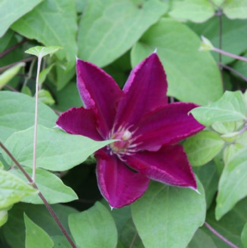 Clematis Mazowsze Volcano x 3 Litre